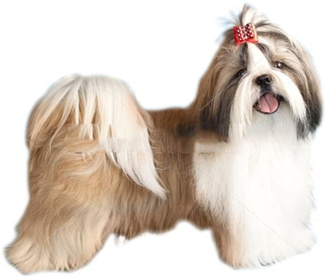 adopting a shih tzu shih tzu puppies for adoption bazar