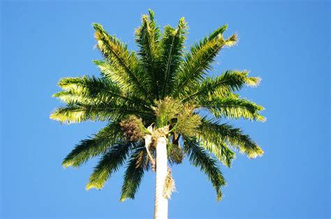Le Palmier palmier royal flore de l 238 le de la r 233 union