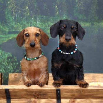 1000 ideas about miniature wire haired dachshund on