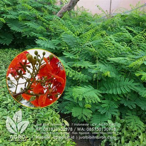 Bibit Flamboyan jual bibit flamboyan merah biji 50 cm agro bibit
