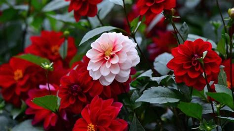 top  dahlia flowers hd wallpapers  p youtube