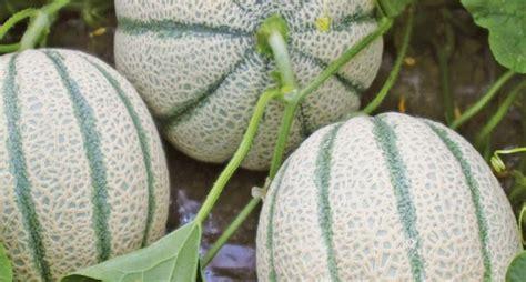 coltivare meloni in vaso coltivazione melone cucumis melo cucumis melo orto