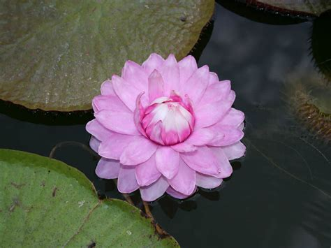 lilies or lillies victoria amazonica amazon water lily world of