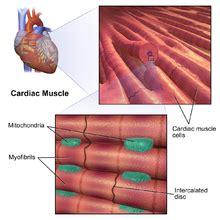 cardiac muscle wikipedia