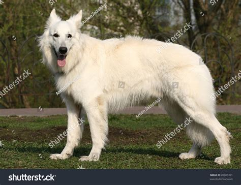 white shepherd standing in stance breeds picture