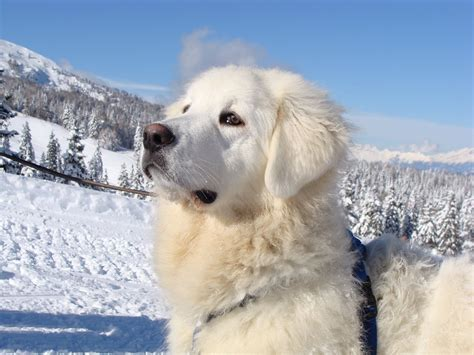 winter puppy winter slovak cuvac photo and wallpaper beautiful winter slovak cuvac pictures