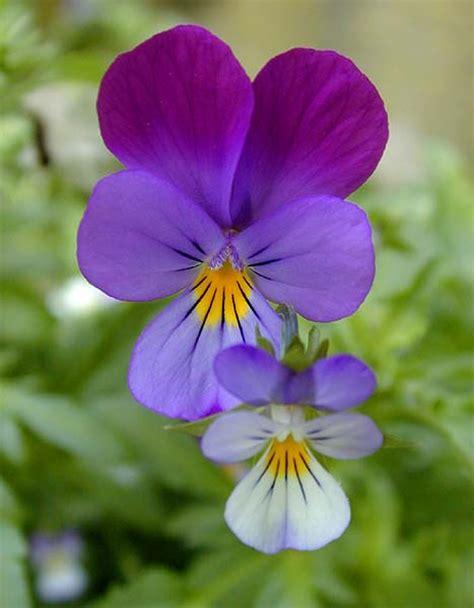 violetta fiore nel mondo di krilu violette fiori di primavera