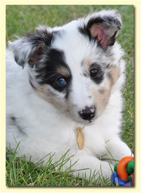blue merle sheltie puppies mahogany sheltie breeds picture