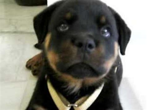 puppy has hiccups adorable rottweiler puppy has hiccups the i dogs club