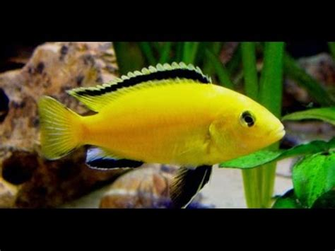 Lu Aquarium Ikan Hias ikan hias air tawar jenis ikan hias air tawar ikan hias
