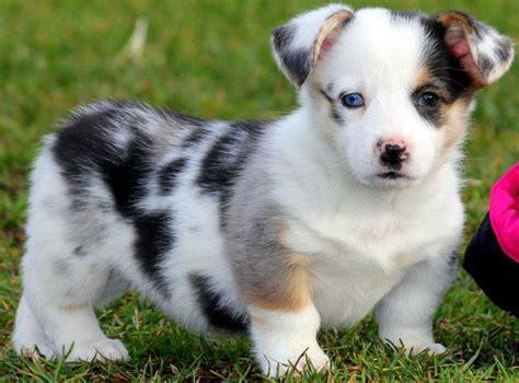 corgi aussie mix puppies corgi aussie mix this is our next dogs