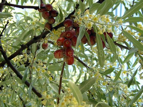 russian olive tree branches   plant nature