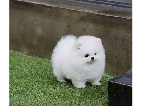 free pomeranian puppies in arkansas 25 best teacup pomeranian ideas on pomeranian puppy pomeranians and