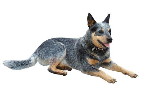 australian dogs top 5 australian dogs jetpets