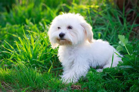 Maltese Shedding Hair by 15 Breeds That Hardly Shed Iheartdogs