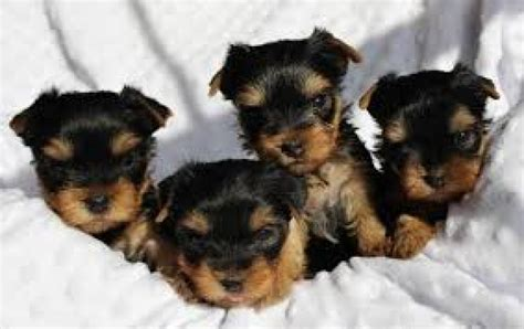yorkie puppies for free adoption teacup yorkie puppies for adoption dogs puppies michigan free