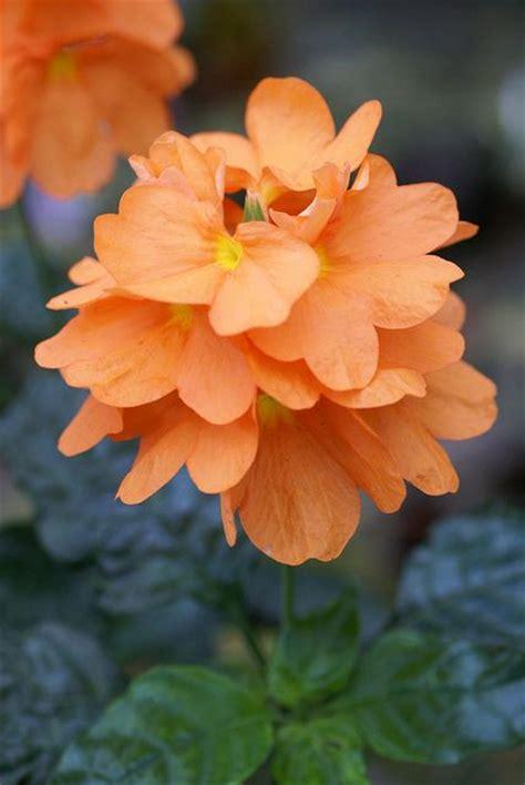 crossandra firecracker flower tropical tender