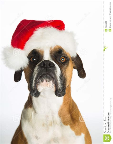 puppy with santa hat boxer in santa hat stock photos image 28326383