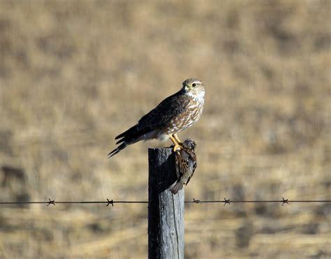prairie hunt prairie falcon facts pictures habitat predators pictures