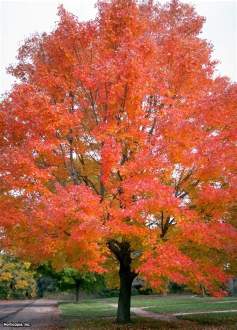 maple tree symbolism red maple red maple also brings on the color try autumn