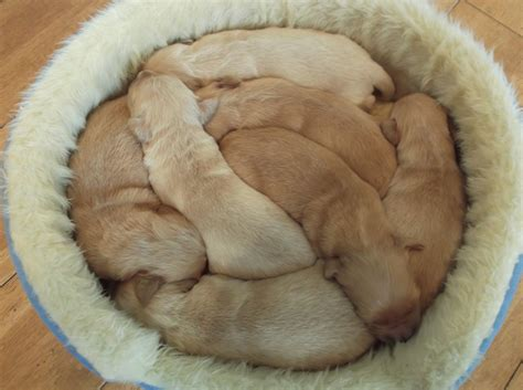 golden retriever puppies for sale in kc reg golden retriever puppies for sale ely cambridgeshire pets4homes