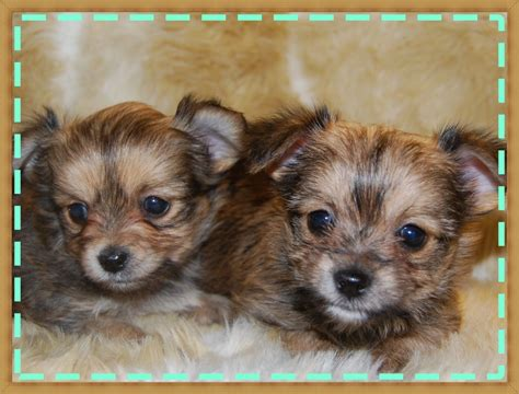 short haired chorkie teacup long haired chihuahua blue merle white blue white