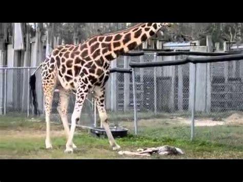 Sapu Taman 2 Macan By Kjperabot kebun binatang san diego menyambut anak jerapah doovi