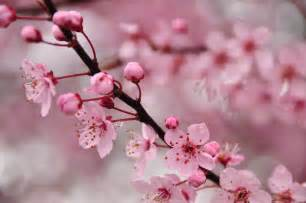 cherry blossom image the vintage perfume vault scented wanderings perfumes of tomorrow