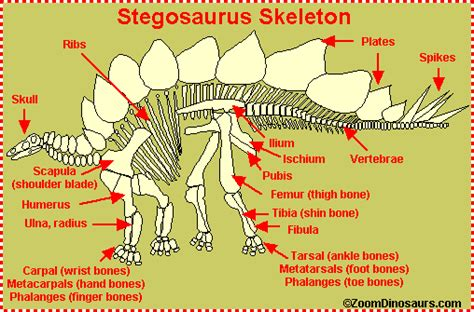 Stegosaurus Facts for Kids   Dinosaurs Pictures and Facts