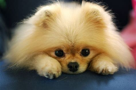 royal pomeranian puppies 107 best the pomeranian royal images on pomeranians dogs and drawings