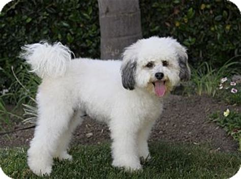 havanese and bichon mix havanese rescue breeds picture