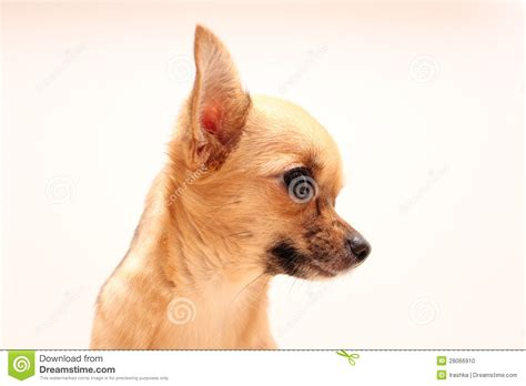 puppy profile chihuahua in profile stock photo image 28066910