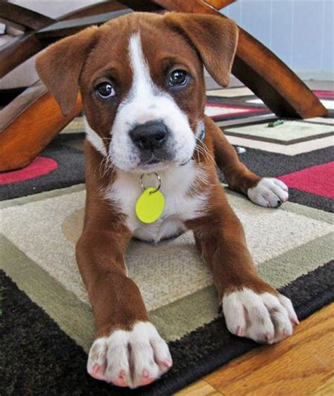 beagle boxer mix puppies for sale mix breed photos all mutt 187 bulldog dachshund mix m5x eu