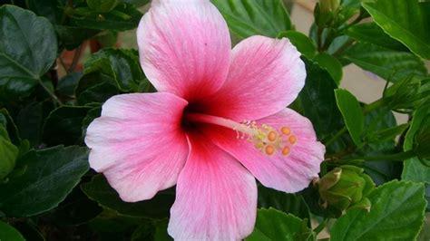 fiore ibisco ibisco coltivazione hibiscus hibiscus piante da