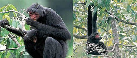 black spider monkey | wwf