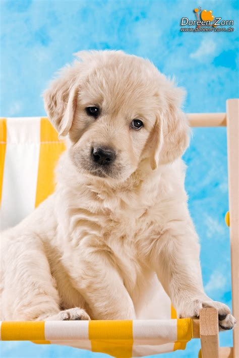 Golden Retriever Puppy By Kirikina On Deviantart