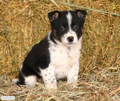collie mix puppies for sale border collie lab mix puppies border collie mix puppy for sale doodles and dogs