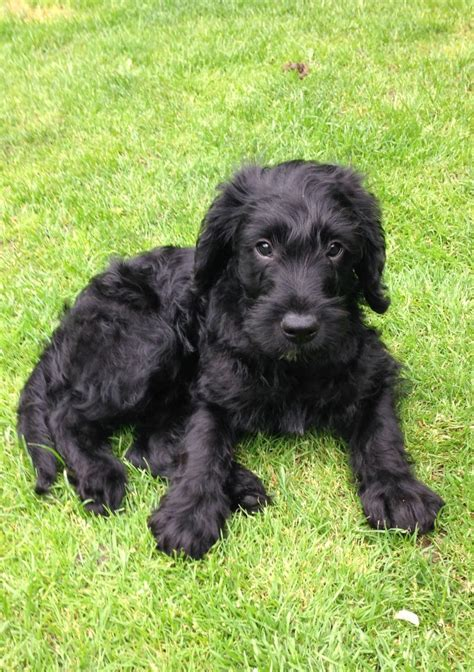 f1 labradoodle puppies for sale miniature f1 labradoodle puppies stoke on trent staffordshire pets4homes for