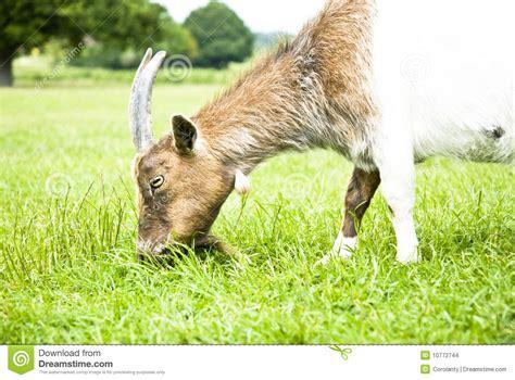 alimentazione capra capra che mangia erba immagini stock immagine 10772744