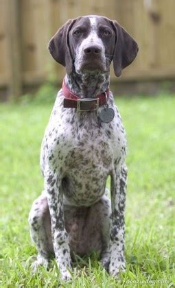 German Shorthaired Pointer Shedding german shorthaired pointer temperament german shorthairs