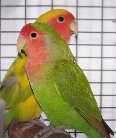 For Lovebird lovebirds images wallpaper images