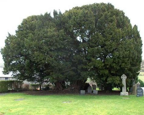oldest living pug llangernyw yew the world s 10 oldest living trees mnn nature network