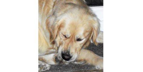 golden retriever dermatitis canine atopic dermatitis companion animal dermatology in south east