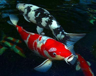 new year koi fish koi fish cyprinus carpio branson s world