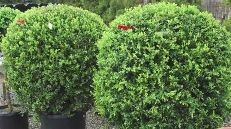 fast growing flowering evergreen shrubs fast growing privacy hedges on sale 12 99