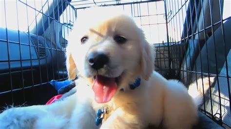 bringing home golden retriever puppy remembering your golden retriever s year as a puppy golden retriever ville