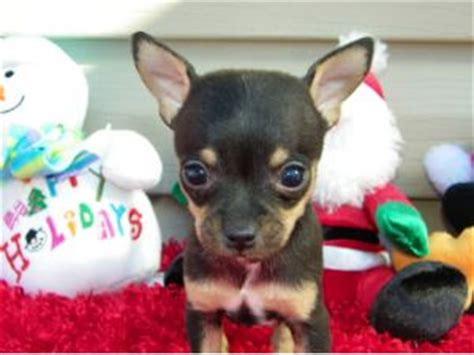 chihuahua puppies for sale in missouri chihuahua puppies in missouri