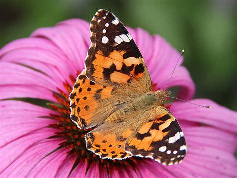 Plus Black Butterfly L cardui
