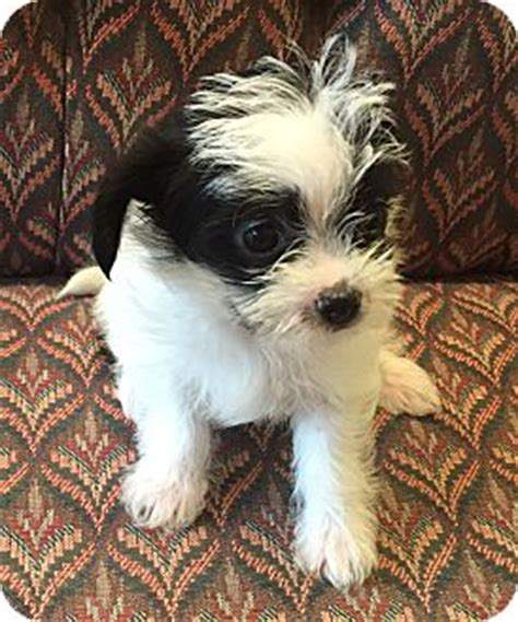 shih tzu for adoption in florida shih tzu central florida photos breeds picture