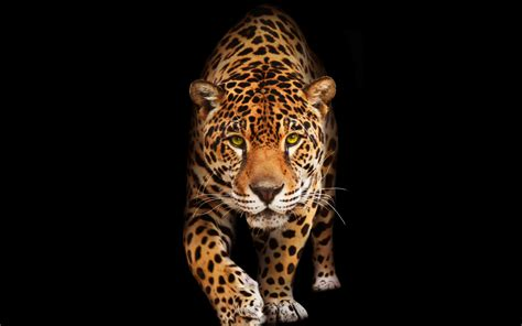 jaguar images hd wallpaper jaguar dark hd animals 10474